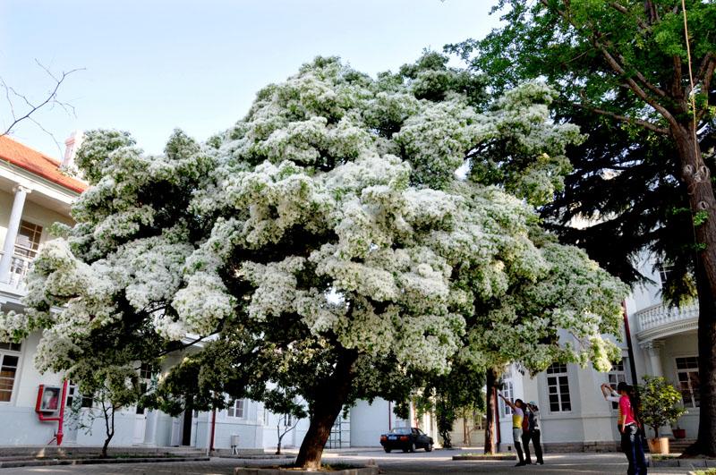 这棵流苏树形高大优美,枝叶茂盛,洁白的流苏花开满了树冠,如覆霜盖雪